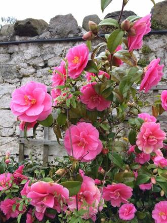 Camellias - the first splash of real colour