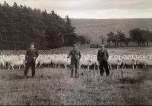 G-R fraser and pjf sheep