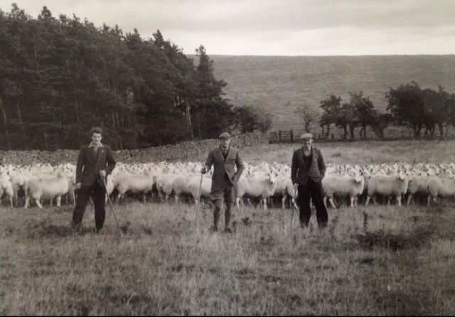 G-R fraser and pjf sheep