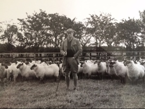 PJF sheep